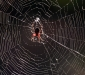 Garden Orb Weaving Spider